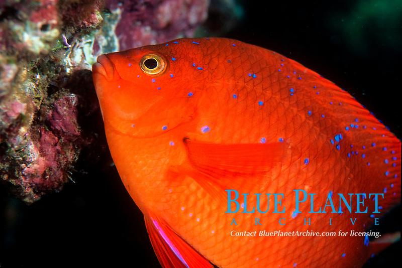 Garibaldi, juvenile, San Clemente Island, Hypsypops rubicundus, California, East Pacific Ocean