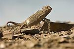 Namaqua Chameleon (Chamaeleo namaquensis) walking across rocky dunes. Skeleton Coast, Namibia.