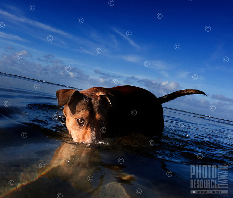 Paws playing Jaws: Rescue dog Isabella plays in the water at Maunalua Bay, O'ahu.