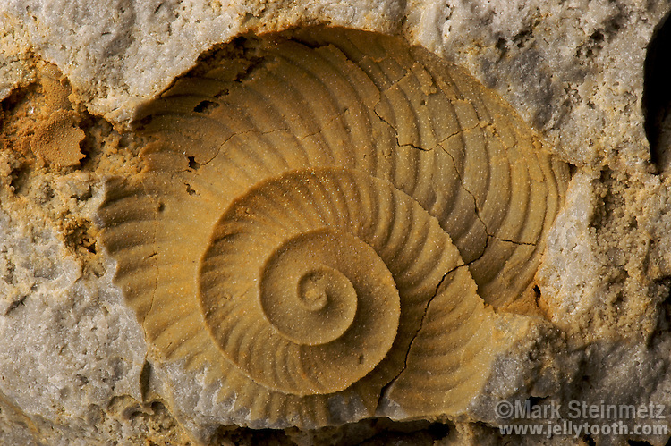 Limonite external mold of a fossilized cephalopod (Graftonoceras sp.) in dolomite found in  Coldwater, Mercer County, Ohio, USA. This coiled nautiloid still shows the pattern of its original shell ornament, which consists of curvilinear waves. Middle Silurian.