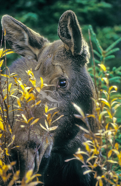 Cow Moose (Alces alces) peeks through willow bush in autumn, Grand Teton National Park, Wyoming. U.S.A.