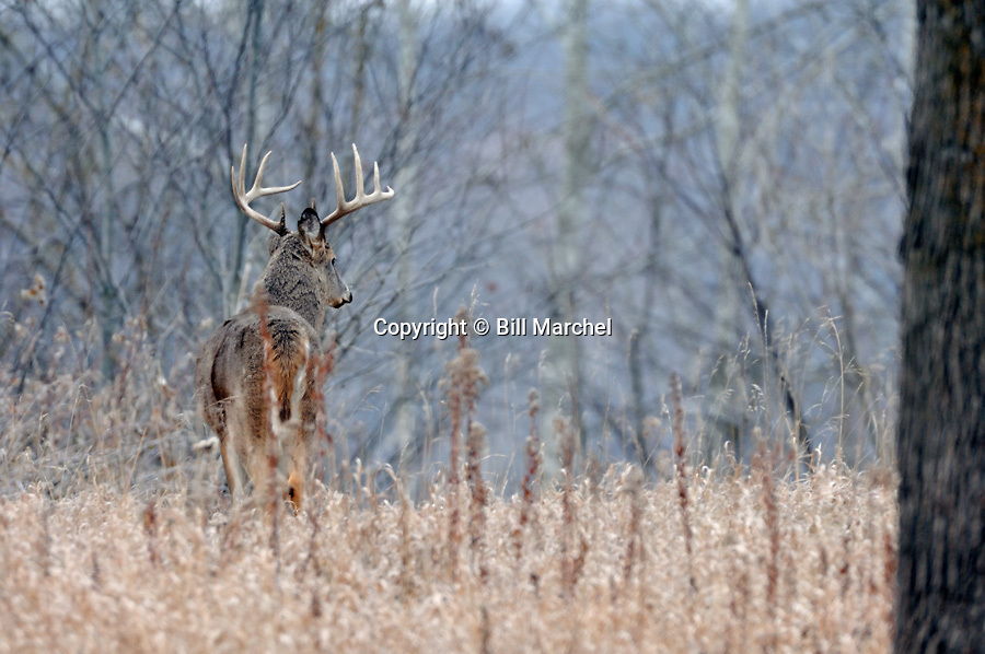 00274-304.06 White-tailed Deer Buck with large antlers is in opening on ridge during fall rut.  Hunt, bottleneck, meadow.