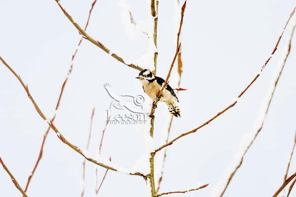 Male Downy Woodpecker (Dryobates pubescens) on snow covered young tree.  Pacific Northwest.  Winter.