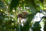 Milne Bay, Papua New Guinea; a female Common Spotted Cuscus (Spilocuscus maculatus) climbs in the tree branches overhead, all males are spotted, but the females typically have no spots , Copyright © Matthew Meier, matthewmeierphoto.com