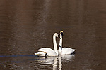 Pair of trumpeter swans on the Chippewa River in northern Wisconsin.