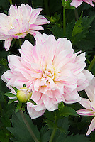 Dahlia 'Ice Cube' MD pink flowers with purple stripes markings