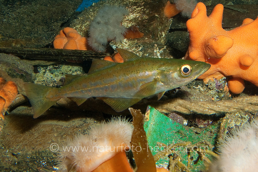 Pollack, Jungfisch, Heller Seelachs, Steinköhler, Pollachius pollachius, pollack, green pollack, pollack lythe