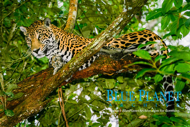 jaguar, Panthera onca (c), resting in tree, Belize, Caribbean, Atlantic Zoo, Belize, Caribbean, Atlantic, Central America, Caribbean, Atlantic