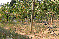 Irrigated vines. Albet i Noya. Penedes Catalonia Spain
