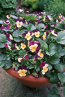 Viola and Fragaria in planter container Viola 'Velour Purple Wing' & Fragaria 'Elan', pansies and strawberry plants together in pot