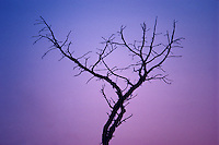 Bare-branched tree silhouette against pink and purple sunset #5335