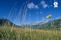 France, French Alps, Brianton, flower in grass at summer (Licence this image exclusively with Getty: http://www.gettyimages.com/detail/sb10066434e-001 )