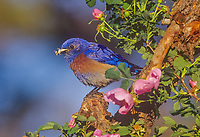Male western bluebird with grasshopper on perch surrounded by wild rose blossoms.  Pacific Northwest.  May.
