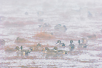 Northern Pintail (Anas acuta) and other ducks on foggy fall morning.
