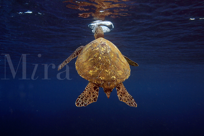 Just below the surface, this green sea turtle [Chelonia mydas] is exhaling all the air from its lungs in anticipation of several large exchanges of fresh air before returning to the reef. Maui, Hawaii.<br />