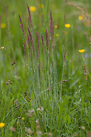 Wolliges Honiggras, Holcus lanatus, Yorkshire fog, tufted grass, meadow soft grass, velvet grass, common velvet grass