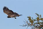Martial Eagle (Polemaetus bellicosus) female flying, Kruger National Park, South Africa
