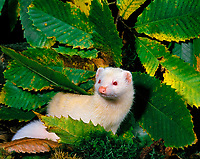 albino ferret, Mustela putorius furo, domesticated form of European polecat, Mustela putorius, adult among leaves, Normandy, France, Europe