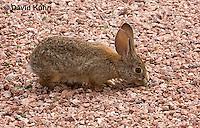0717-1004  Desert Cottontail Rabbit (Audubons Cottontail), Sylvilagus audubonii  © David Kuhn/Dwight Kuhn Photography