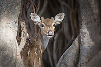 A Chital or Spotted Deer peers through the aerial roots of a Banyan Tree in Ranthambhore Tiger Reserve, Rajasthan, India