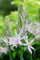 Camassia leichtlinii 'Amethyst Crystal'