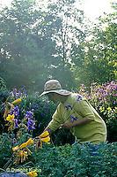 HB05-150x  English Cottage Garden - picking flowers - yellow day lilies and bearded iris - Hemerocallis spp  and Iris spp.
