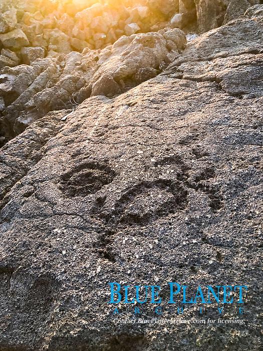 petroglyph, an image of a sea turtle, Waikoloa Petroglyph Preserve, Big Island, Hawaii, USA