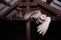 Barn Owl, Tyto alba, adult leaving young in nest, Willacy County, Rio Grande Valley, Texas, USA, May 2007