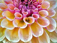 Close up of Dahlia variety Blah, Blah, Blah. Oregon