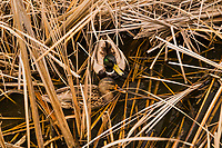 A Mallard couple, male and female Mallard ducks, have found a safe enclave in the seasonally dry tule grass at Coyote Hills Regional Park, on the eastern shore of San Francisco Bay.