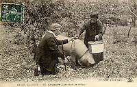 Europe/France/Midi-Pyrénées/46/Lot/Vallée du Lot/Cahors: Vieille carte postale sur le thème de la truffe - Collection Mr Pebeyre - Recherche de la truffe