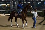 MAR 27,2015:California Chrome,exercises in preparation for the Dubai World Cup at Meydan in Dubai,UAE. Kazushi Ishida/ESW/CSM