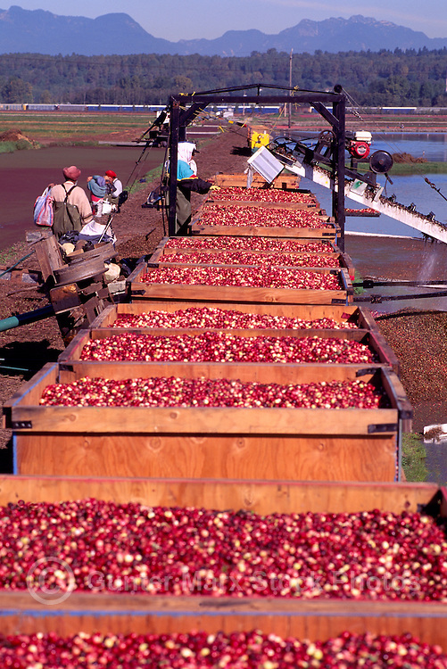 Richmond, BC, British Columbia, Canada - East Indian Agricultural Workers harvesting Cranberries (Vaccinium macrocarpon) from Flooded Bog Field, to Conveyor Belt to Crates, on Cranberry Farm