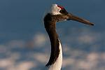 Red-crowned Crane, Japan (Endangered)