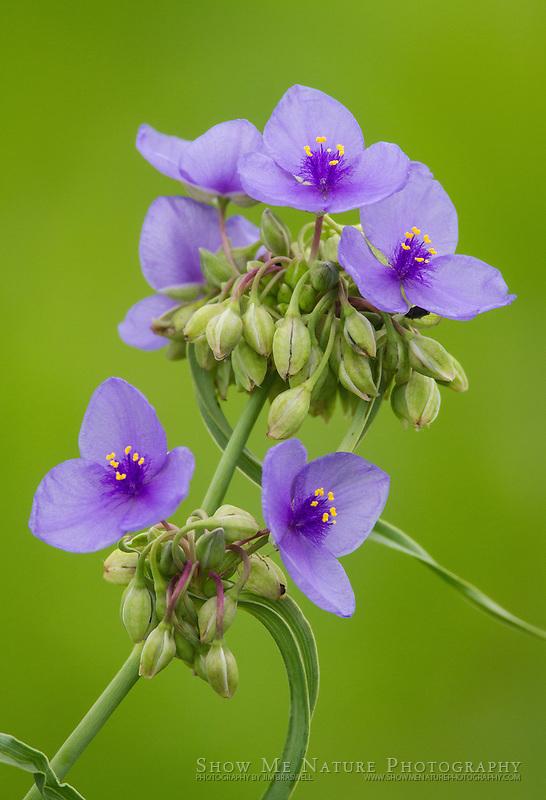 Spiderwort wildflower on a Missouri prairie