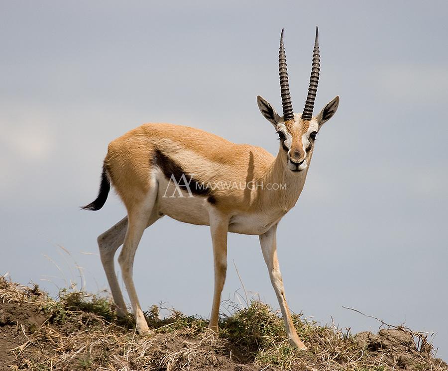 A common sight on the Serengeti plain.