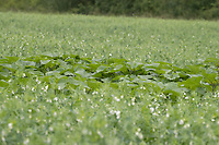 13-7-2021 Sunflowers being used as a predator trap in a crop of peas.<br /> ©Tim Scrivener Photographer 07850 303986<br />      ....Covering Agriculture In The UK....