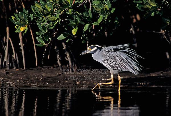 Yellow-crowned Night-Heron, Nyctanassa violacea, adult walking, Ding Darling National Wildlife Refuge, Sanibel Island, Florida, USA