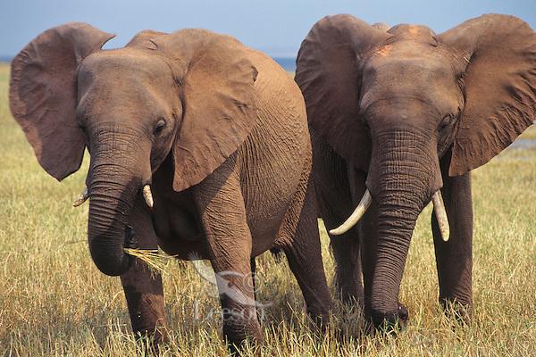 African elephants (Loxodonta africana) feeding along shoreline of Lake Kariba.  Matusadona National Park, Zimbabwe.