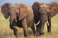 African elephants (Loxodonta africana) feeding along shoreline of Lake Kariba.  Matusadona National Park, Zimbabwe.
