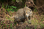 A jaguar sits at the edge of the forest in the Pantanal, Mato Grosso, Brazil.