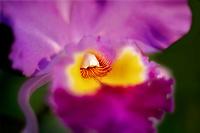 Close up of orchid. Kauai, Hawaii