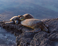 Honu Ohana: Three Hawaiian sea turtles gather together at dusk to rest as a family on the reef in Puako, Big Island of Hawai'i.