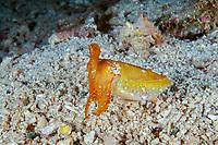 broadclub cuttlefish, Sepia latimanus, Raja Ampat, West Papua, Indonesia, Indo-Pacific Ocean