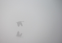 A Canada Goose flies across the Yellowstone River on a foggy morning.
