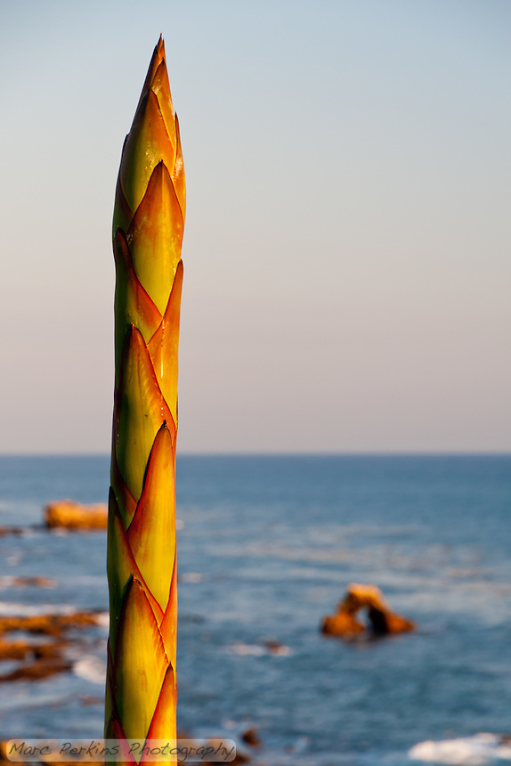 A large agave inflorescence that's still growing seen at the entrance to Little Corona beach in Corona Del Mar (Newport Beach), CA just before sunset.  The distinctive arch rock of Little Corona is visible in the ocean in the background.