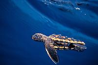 loggerhead sea turtle hatchling, Caretta caretta (c-r), swimming in open ocean off Florida, Atlantic Ocean