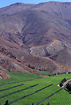 Muscatel grapes growing vineyard in Pisco Elqui Chile South America 2000s
