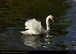 Mute Swan on the Groenerei at the Uilenspiegel, Bruges, Brugge, Belgium
