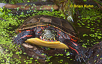 1R13-9109  Painted Turtle - Chrysemys picta, © Brian Kuhn/Dwight Kuhn Photography